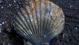 Chesapectean Fossil